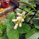 Lemon flower buds