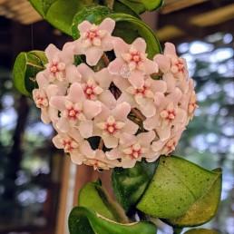 Hoya flower cluster